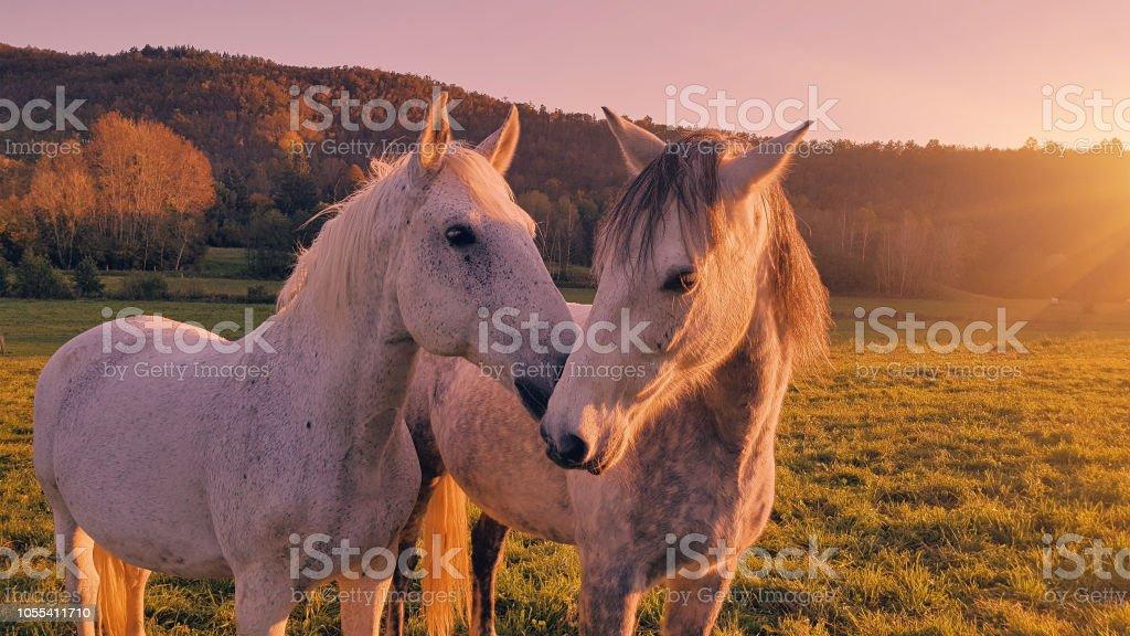 Couple of horses enjoying on a sunny meadow. stock photo