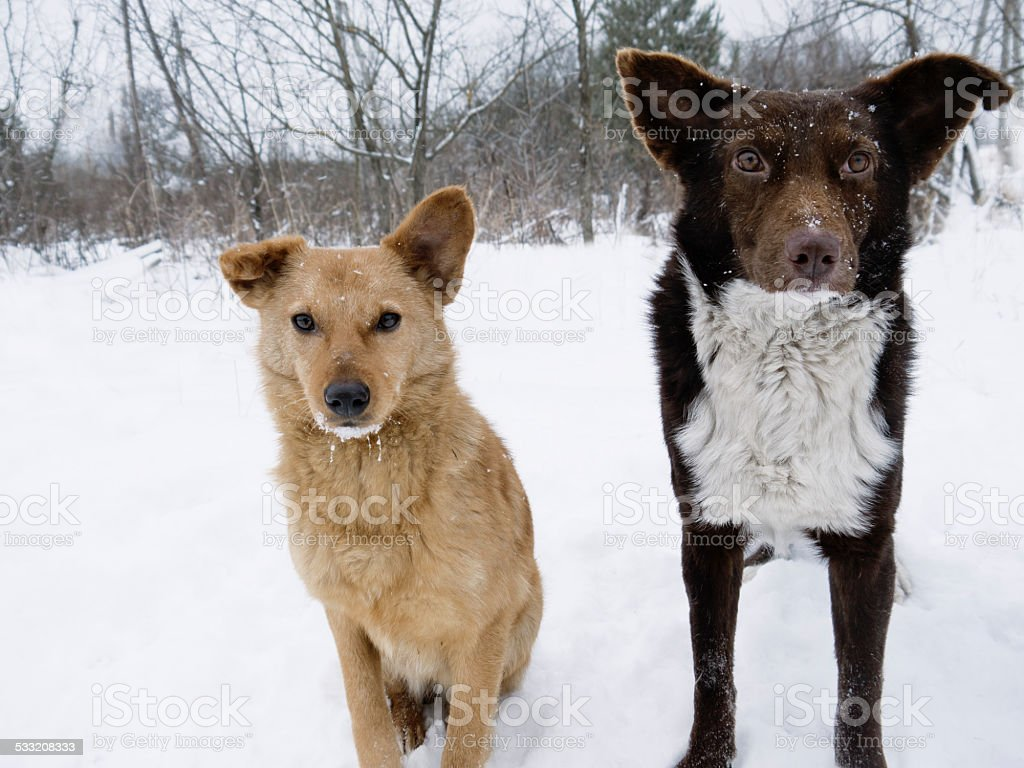 Couple of Hungry Dogs stock photo