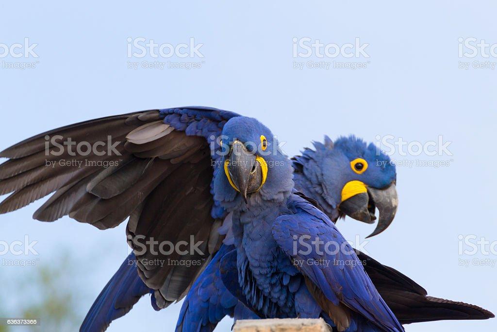 Couple of Hyacinth macaw, Brazilian wildlife stock photo