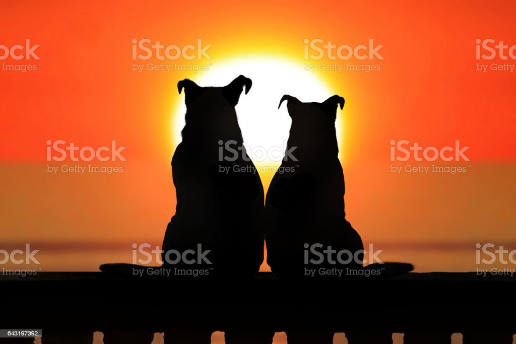 Couple of jack russell at sunset stock photo
