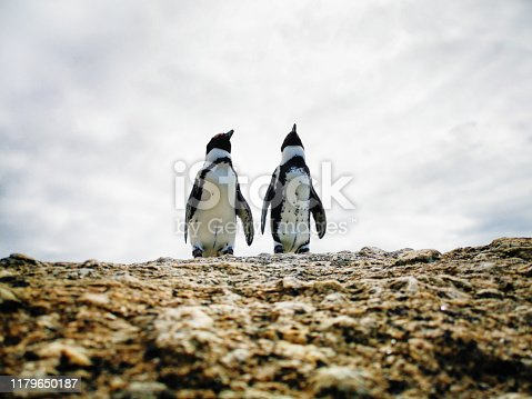 Couple of Jackass penguins looking up at the sky from a rock