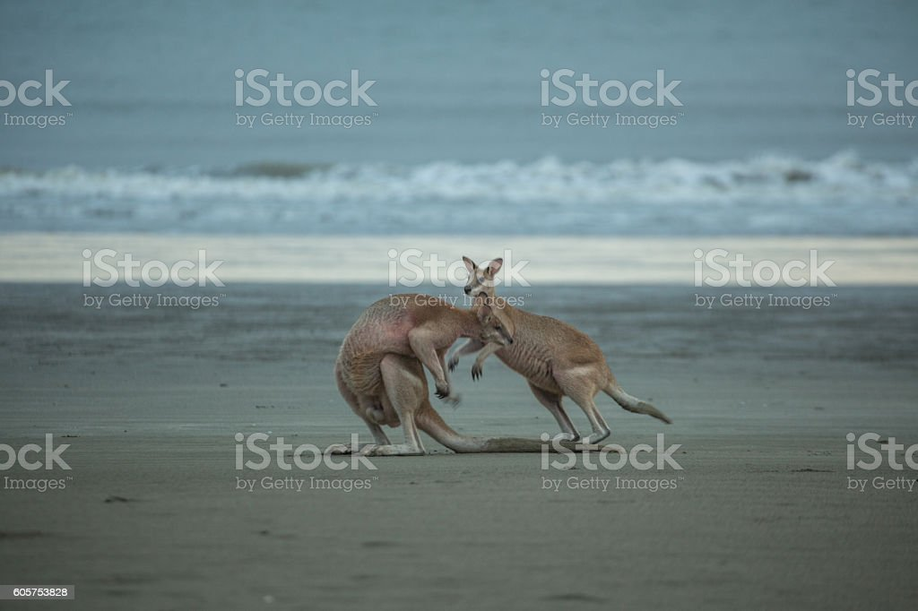 Couple of kangaroos boxing on the beach stock photo