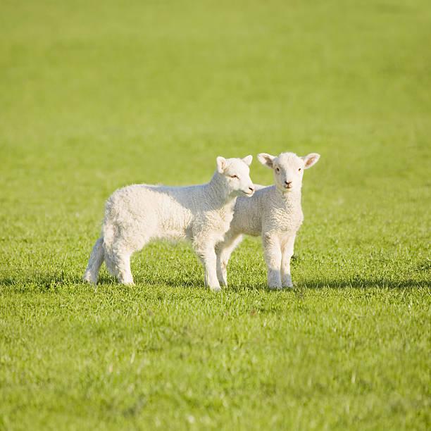 Couple of lambs on New Zealand meadow stock photo