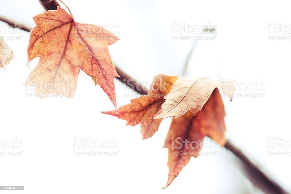Couple of Leaves on a Skinny Branch royalty-free stock photo