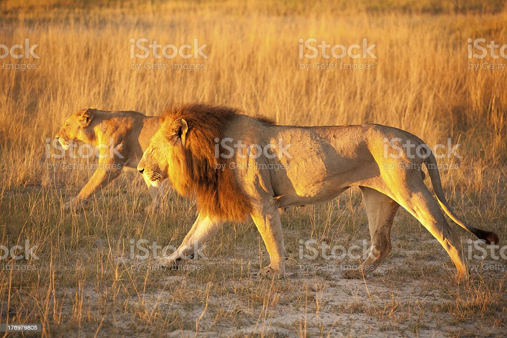 Couple of lion stock photo