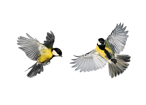 a couple of little birds chickadees flying toward spread its wings and feathers on white isolated background