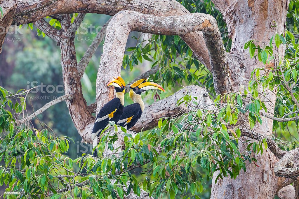 Couple of lover of Great hornbill stock photo