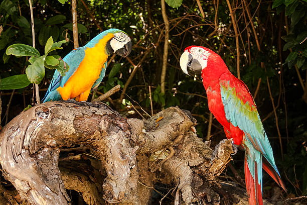 Couple of macao parrots. stock photo