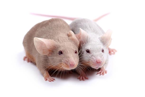 Paar mice – Foto