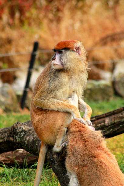 Couple of monkey is grooming. Male monkey checking for fleas and ticks in female. Monkey family fur on pair of show grooming on grass in natural environment at zoo. Patas monkey is type of primates. stock photo