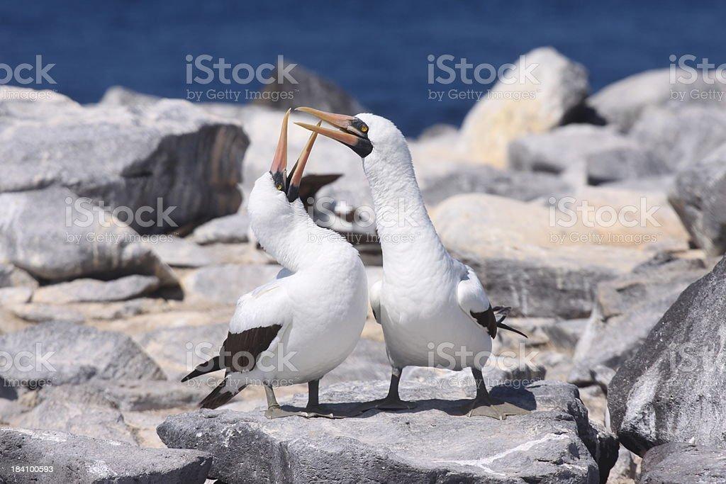 Par de nazca, boobies en altura de las islas galápagos - foto de stock