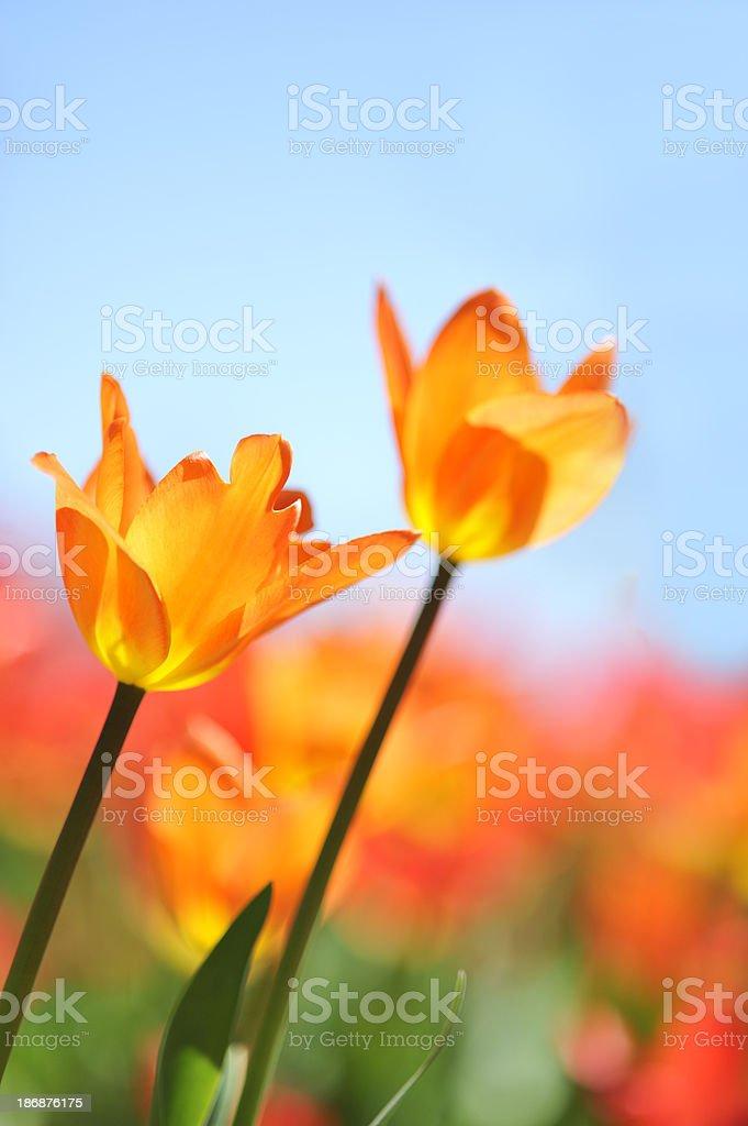Couple of orange tulips, two flowers. stock photo