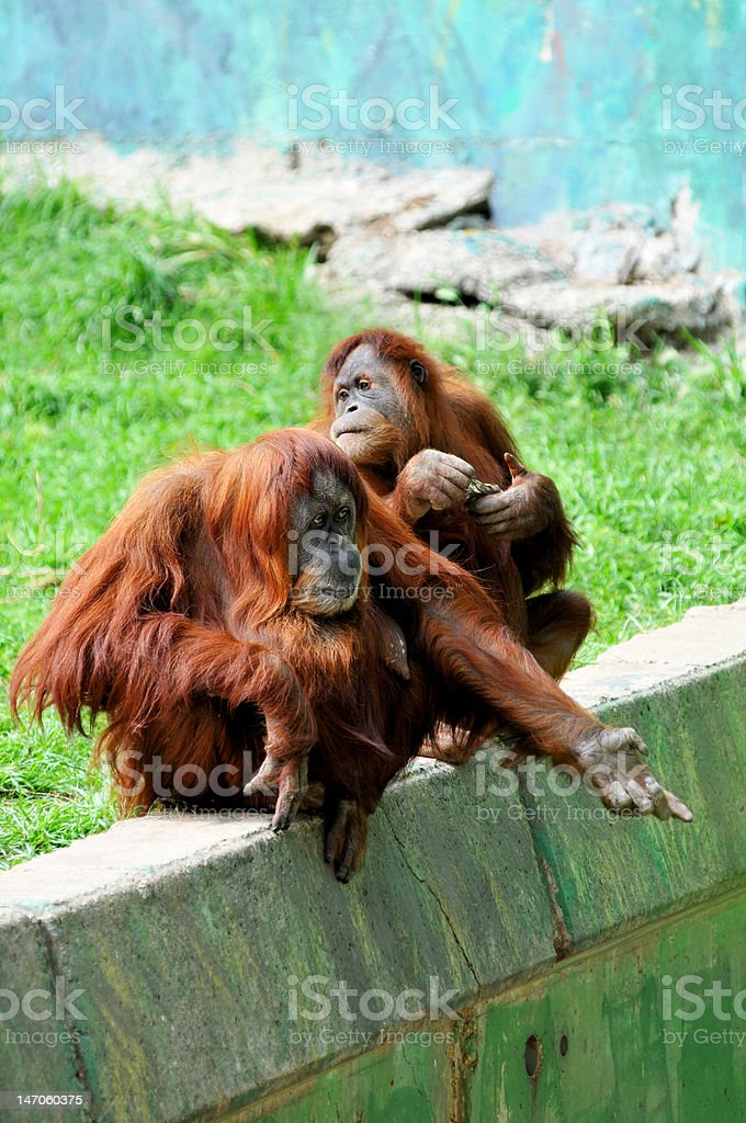 Couple of Orangutan females royalty-free stock photo