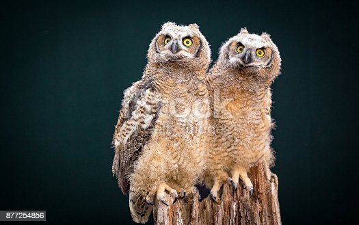 istock Couple of Owl 877254856