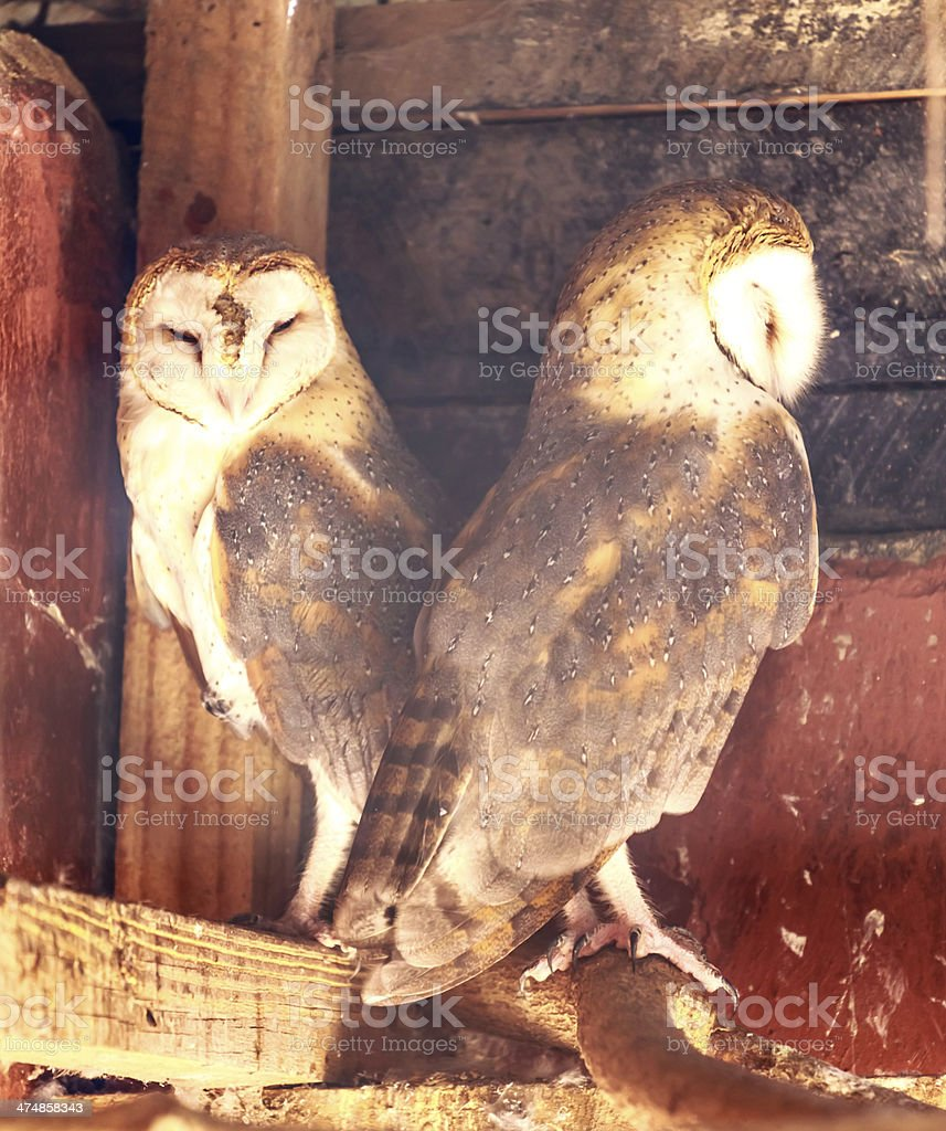 couple of owls in cage royalty-free stock photo