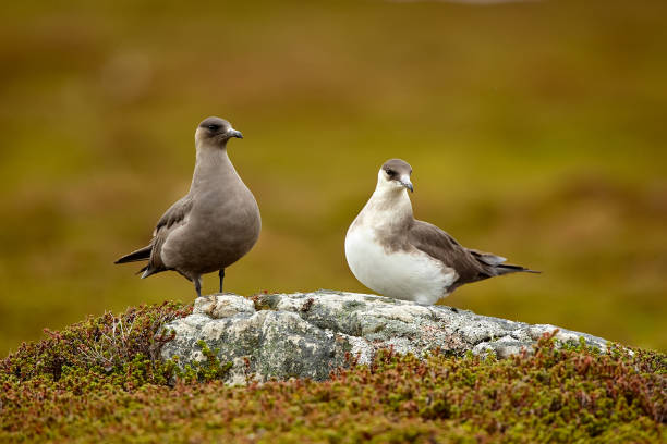 Couple of Parasitic Jaeger (Stercorarius parasiticus) sitting on a stone in the Norwegian Tundra. Wildlife scene from Varangerfjord. stock photo
