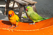 A pair of green and yellow parrots are sitting on a parapet on the Maafushi Island, Maldives, Indian Ocean