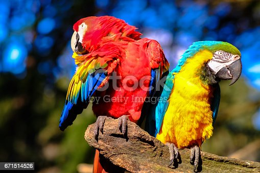 istock Couple of parrots 671514526