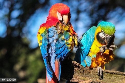 istock Couple of parrots 671530450