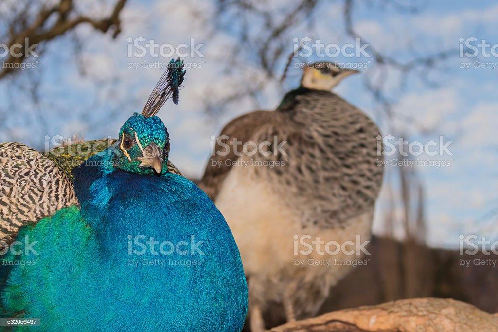 Paar peacock – Foto