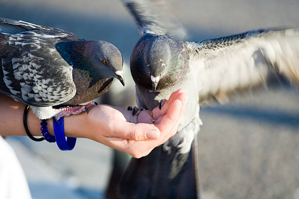 Couple of pigeons are eating crumbs from woman's hand stock photo