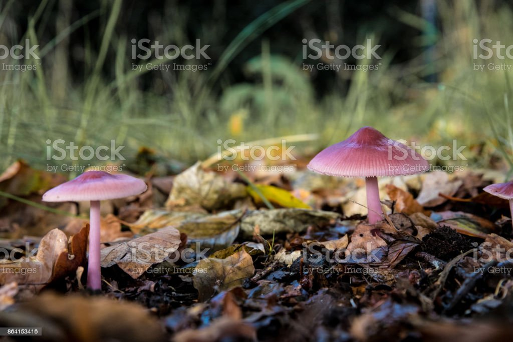 Couple of  pink mushrooms royalty-free stock photo