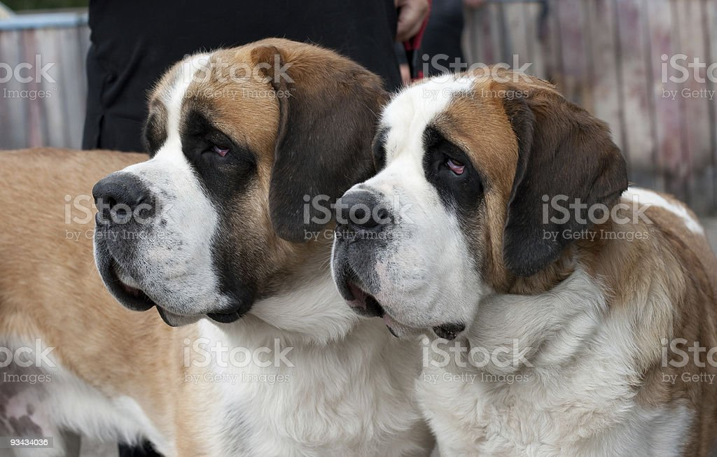 Couple of purebred st bernard dogs stock photo