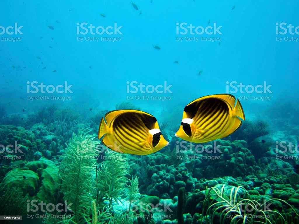 Couple of Raccoon Butterfly fish stock photo