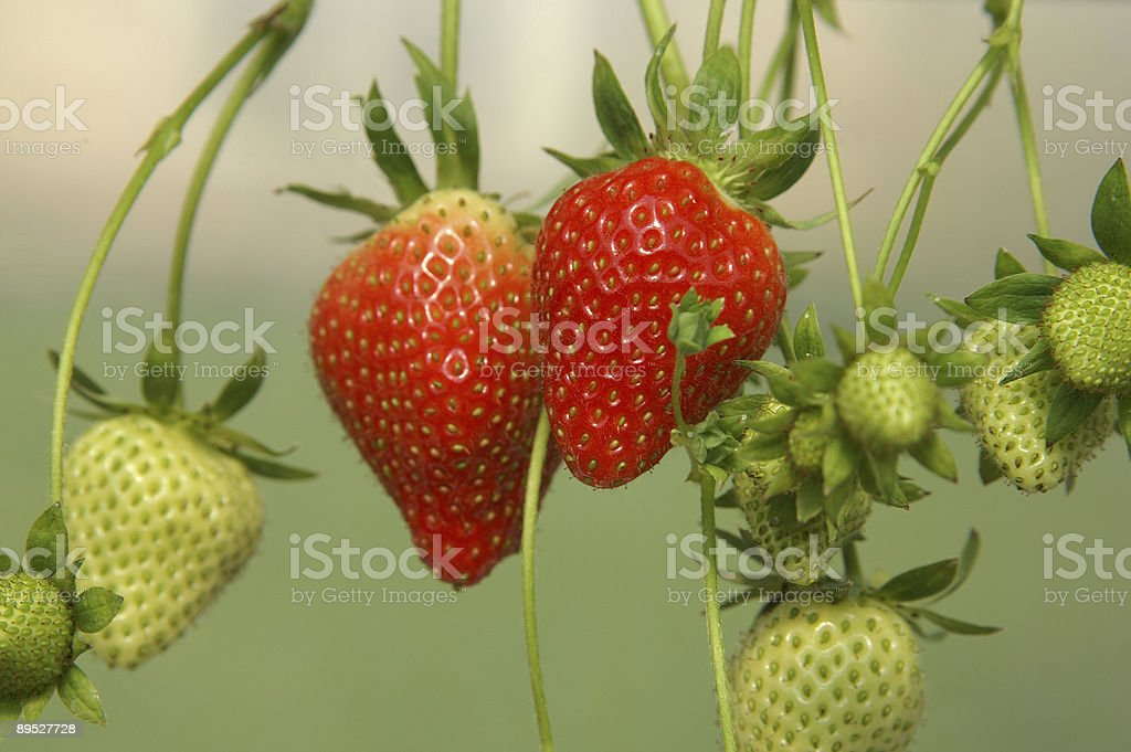 Couple of red strawberries 免版稅 stock photo