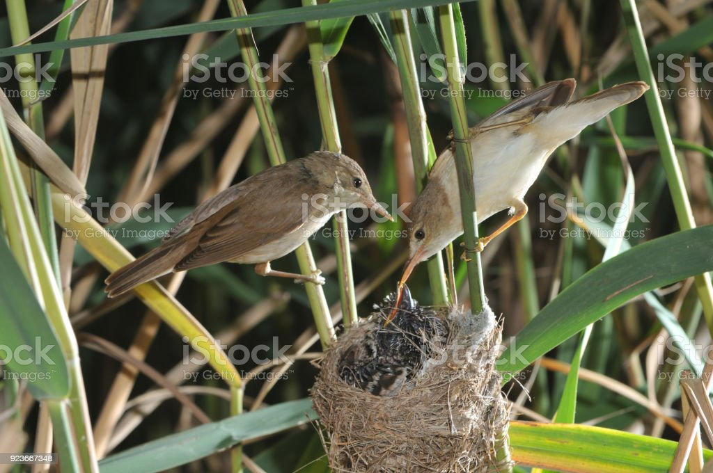 Couple of Reed warbler with cuckoo stock photo