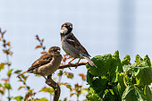 Couple of ring sparrows in domestic garden.