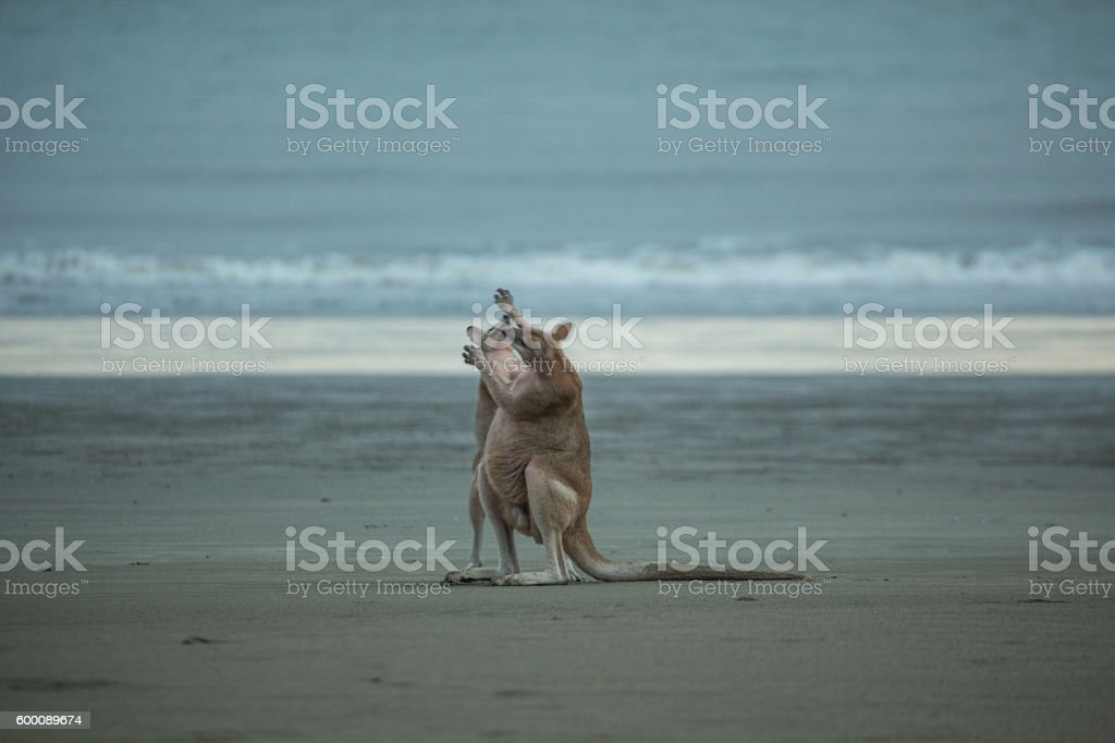 Couple of 'roos fighting stock photo