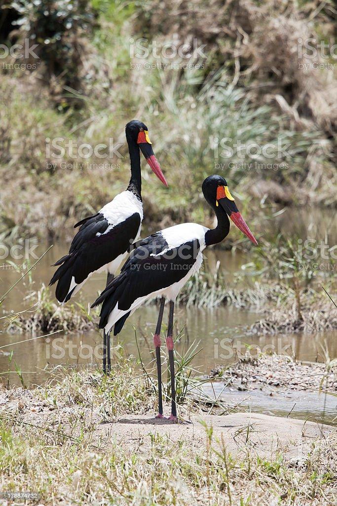 Couple of Saddle-billed Stork royalty-free stock photo