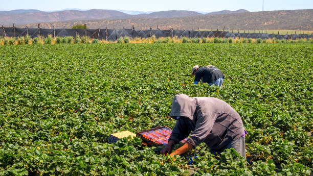 A couple of seasonal farmers work hard in a strawberry field in Mexico San Quintin, Baja California, Mexico, March 28 - A couple of seasonal farmers worker hard during the strawberry harvest in the San Quintin area, north of the Baja California peninsula in northwestern Mexico. migratory workers stock pictures, royalty-free photos & images