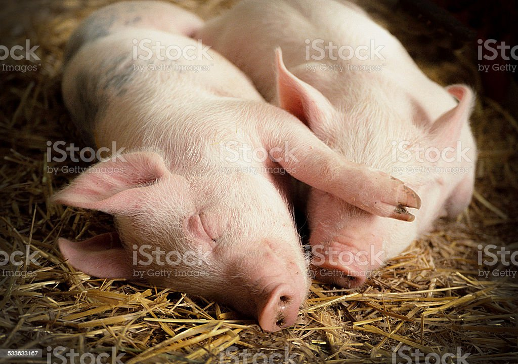 Couple of sleeping pigs on straw in barn stock photo
