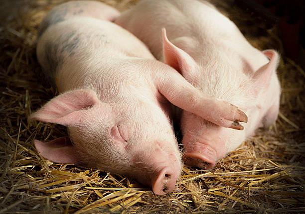 paar schlafen schweine auf stroh in der scheune - traumscheune stock-fotos und bilder