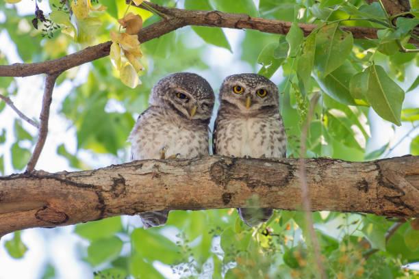Couple of spotted owlet picture id686494502?b=1&k=6&m=686494502&s=612x612&w=0&h=r0gnh565u8klks88uabund baui5i4hecubbeuts0ac=