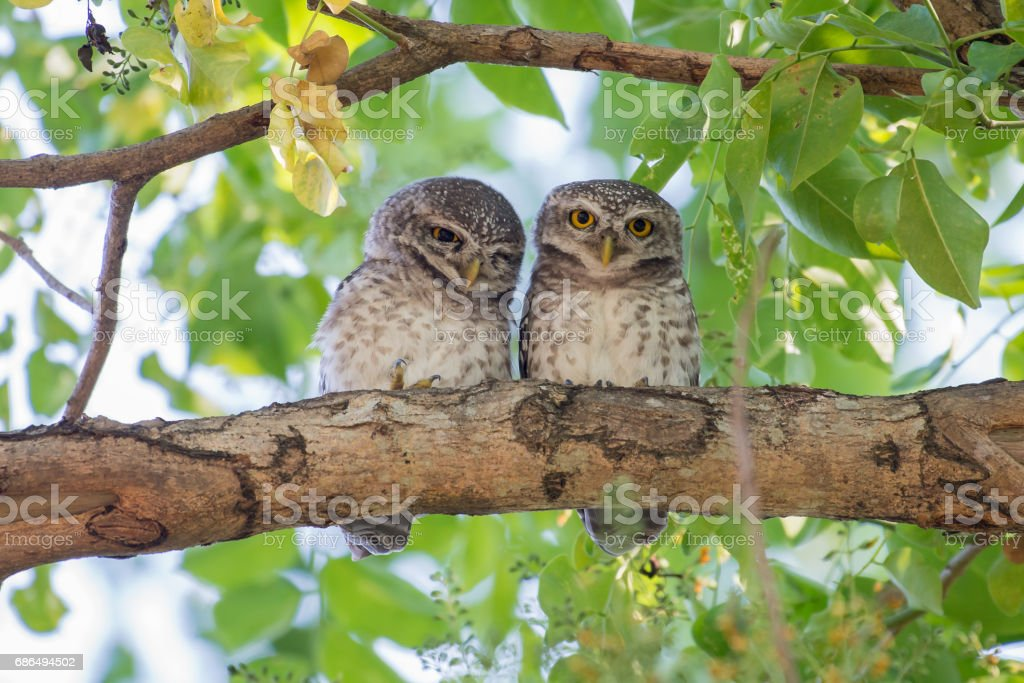 Couple of Spotted Owlet stock photo