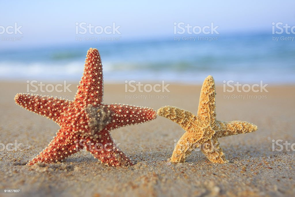 Couple of starfish at the beach royalty-free stock photo