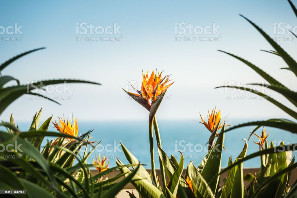A couple of strelizia flowers A couple of strelizia flowers, bird of paradize, with copy space and pacific ocean on the background, love concept Backgrounds Stock Photo
