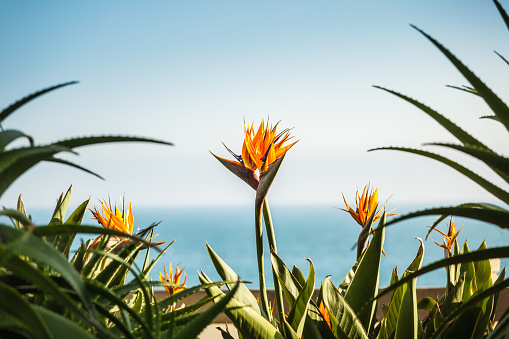 A Couple Of Strelizia Flowers Stock Photo - Download Image Now