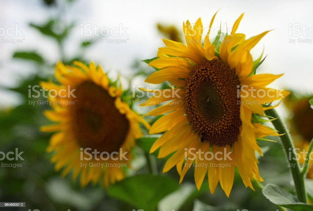Couple of sunflowers. Shot on film royalty-free stock photo