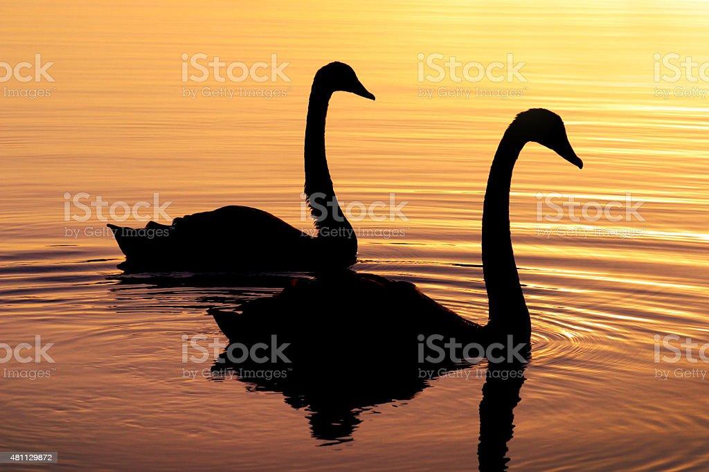 Casal de natação Swan silhueta em um belo pôr-do-sol foto royalty-free