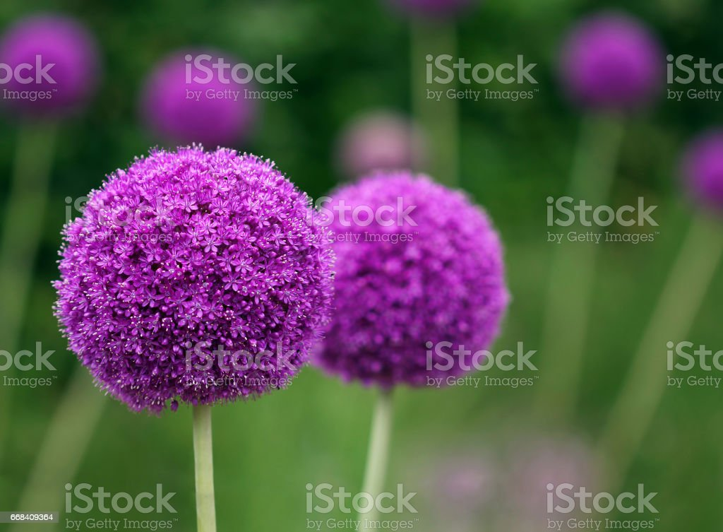 Couple of the allium purple flowers growing in the garden​​​ foto