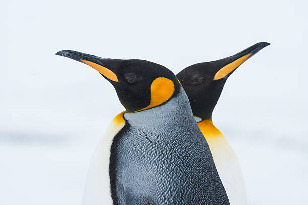 Couple of the King penguins A close up (top half) of two king penguins at Grytviken, South Georgia Island, Antarctica. south georgia island stock pictures, royalty-free photos & images