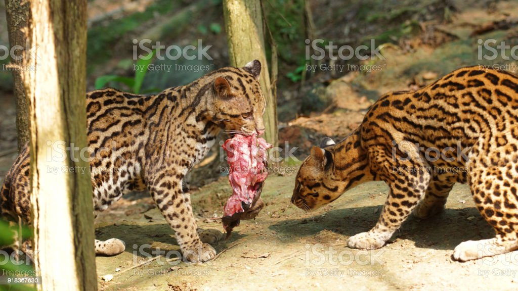 Couple of tigrillos playing with a piece of raw meat in Ecuadorian amazon. Common names: Ocelote, Tigrillo. Scientific name: Leopardus pardalis stock photo