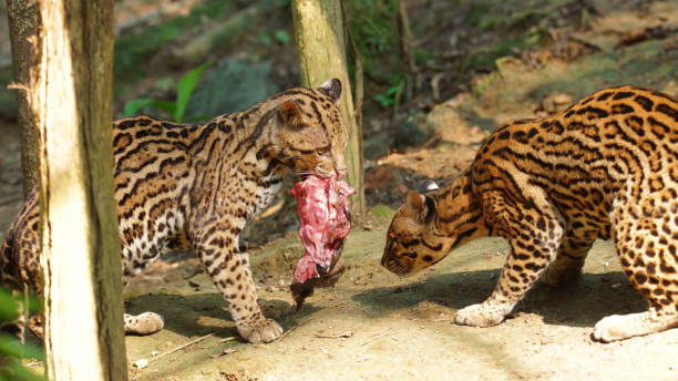 couple of tigrillos playing with a piece of raw meat in ecuadorian amazon. common names: ocelote, tigrillo. scientific name: leopardus pardalis - carnivora stock photos and pictures