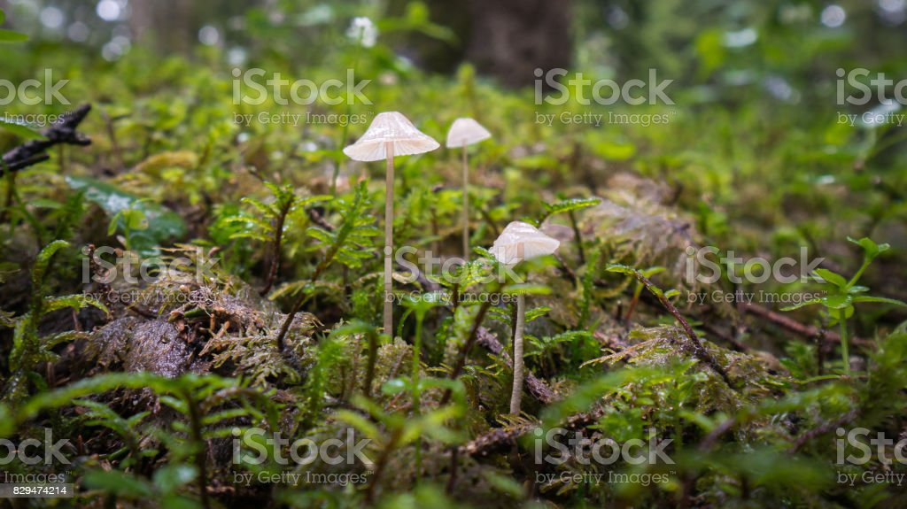 Couple of tiny mushrooms on the moss in a forest stock photo