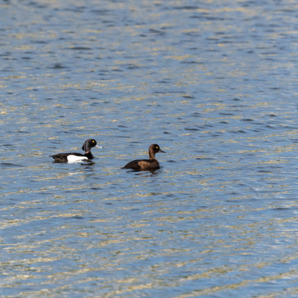 Couple of Tufted Ducks swimming in glittering water stock photo