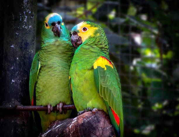 Couple of Turquoise-Fronted Amazons (Amazona aestiva) in Love stock photo